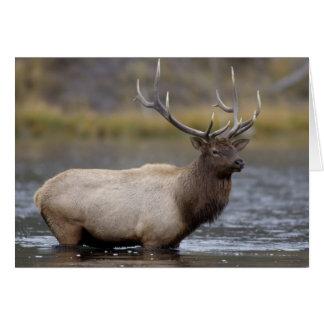 bull elk crossing river, Yellowstone NP, Wyoming Card