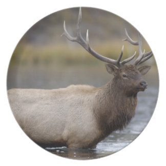 bull elk crossing river, Yellowstone NP, Wyoming Dinner Plates