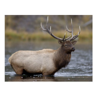 bull elk crossing river, Yellowstone NP, Wyoming Postcard