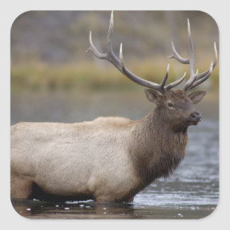 bull elk crossing river, Yellowstone NP, Wyoming Square Sticker