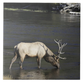Bull Elk Drinking from Madison River Large Square Tile