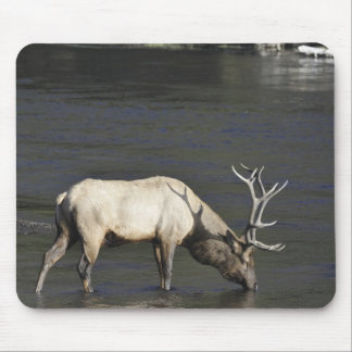 Bull Elk Drinking from Madison River Mouse Pad