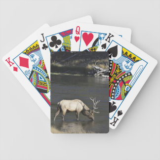 Bull Elk Drinking from Madison River Poker Cards