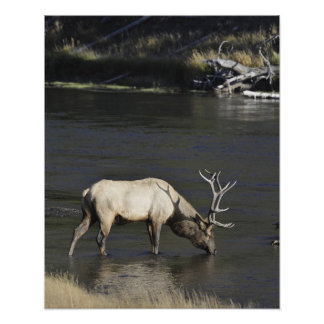 Bull Elk Drinking from Madison River Poster