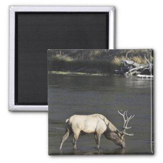 Bull Elk Drinking from Madison River Square Magnet