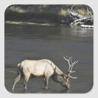 Bull Elk Drinking from Madison River Square Sticker