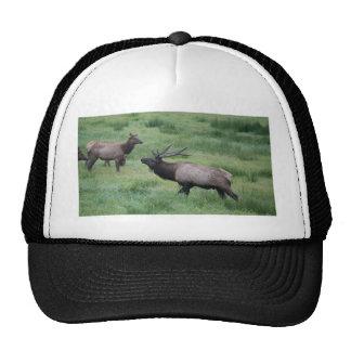 Bull Elk & Harem Cap