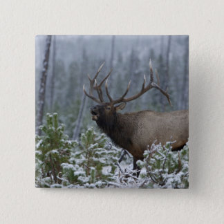 Bull Elk in snow calling, bugling, Yellowstone 15 Cm Square Badge