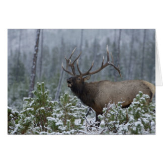 Bull Elk in snow calling, bugling, Yellowstone Card