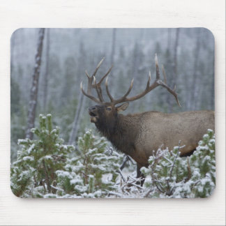 Bull Elk in snow calling, bugling, Yellowstone Mouse Pad