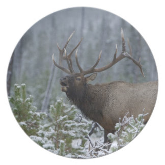 Bull Elk in snow calling, bugling, Yellowstone Plate