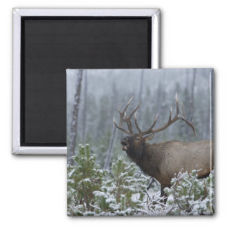 Bull Elk in snow calling, bugling, Yellowstone Square Magnet