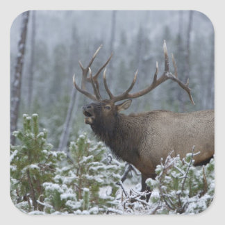 Bull Elk in snow calling, bugling, Yellowstone Square Sticker