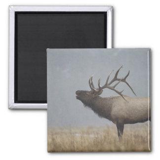 Bull Elk in snow storm calling, bugling, Square Magnet