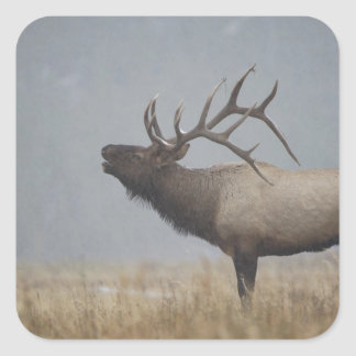 Bull Elk in snow storm calling, bugling, Square Sticker