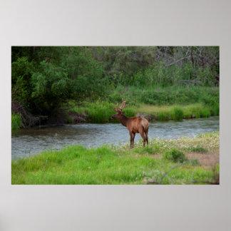 Bull Elk in the National Bison Range, Montana 1 Poster