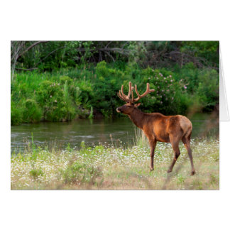 Bull Elk in the National Bison Range, Montana 2 Card
