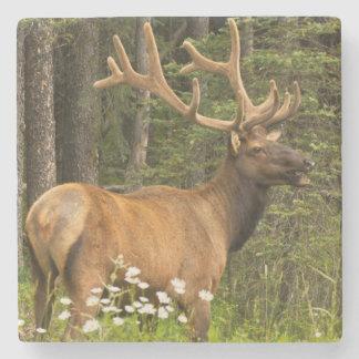 Bull elk in velvet, Canada Stone Coaster