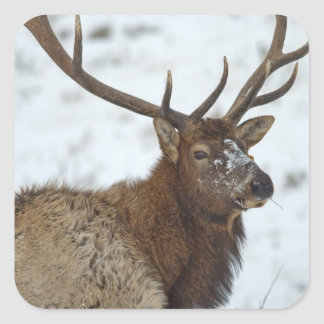 Bull elk in winter in Yellowstone National Square Sticker