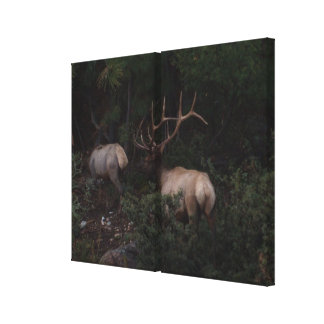 Bull Elk Mating Season Stretched Canvas Prints
