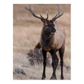 Bull Elk or Wapiti Postcard