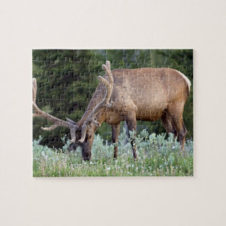 Bull Elk with antlers in velvet grazing in Jigsaw Puzzle