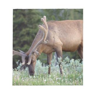 Bull Elk with antlers in velvet grazing in Notepad