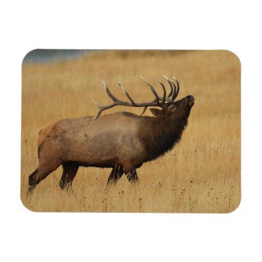 Bull Elk with Head Back Rectangular Magnets