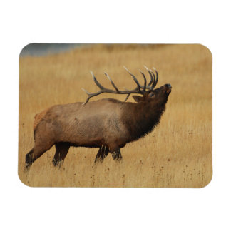 Bull Elk with Head Back Rectangular Photo Magnet