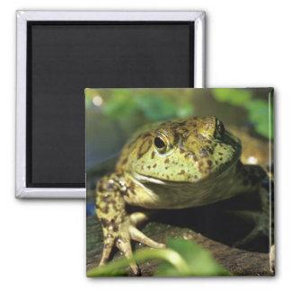 Bull frog. magnet