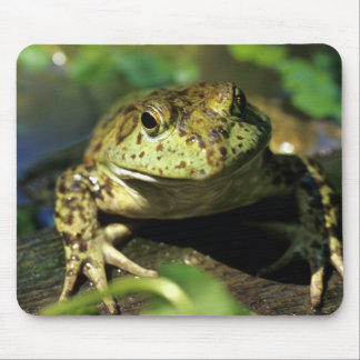 Bull frog. mouse pad
