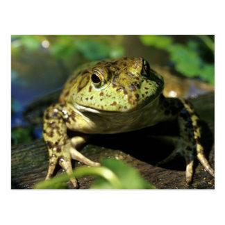 Bull frog. postcard