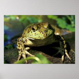 Bull frog. poster