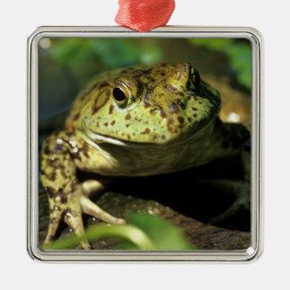 Bull frog. Silver-Colored square decoration