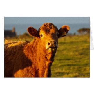 Bull in the evening sunshine card