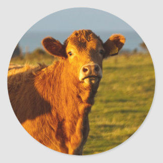 Bull in the evening sunshine classic round sticker