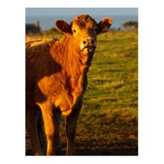 Bull in the evening sunshine postcard