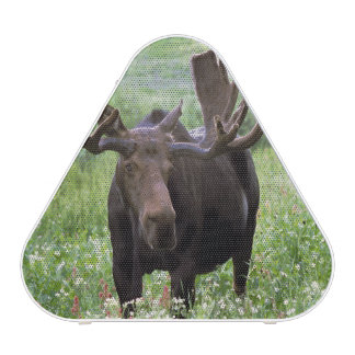 Bull moose Alces alces) in wildflowers,