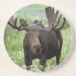 Bull moose Alces alces) in wildflowers, Drink Coasters