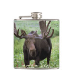 Bull moose Alces alces) in wildflowers, Flask