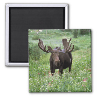 Bull moose Alces alces) in wildflowers, Magnet