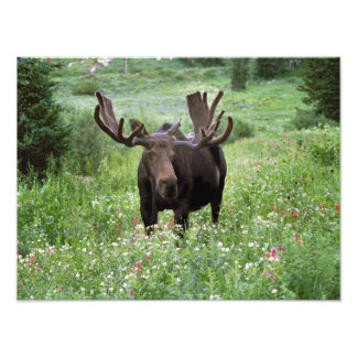 Bull moose Alces alces) in wildflowers, Photo Print