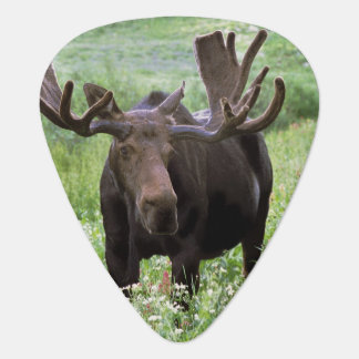 Bull moose Alces alces) in wildflowers, Plectrum