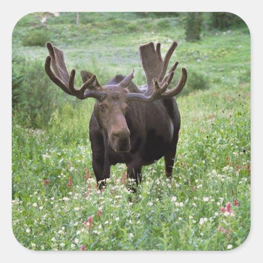 Bull moose Alces alces) in wildflowers, Square Sticker