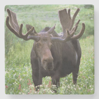 Bull moose Alces alces) in wildflowers, Stone Coaster