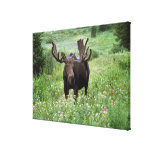 Bull moose Alces alces) in wildflowers, Stretched Canvas Print