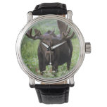 Bull moose Alces alces) in wildflowers, Watches