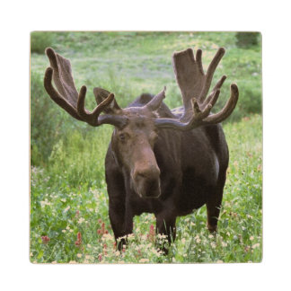 Bull moose Alces alces) in wildflowers, Wood Coaster
