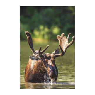 Bull moose feeding in backcountry canvas print