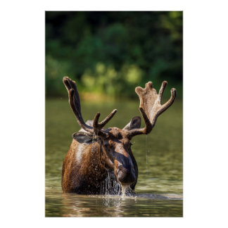 Bull moose feeding in backcountry poster